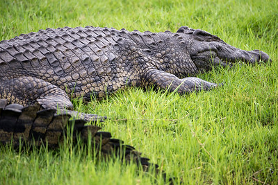 Crocodile - river game drive, Zimbabwe