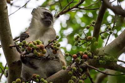 Vervet monkey at Royal Livingstone Hotel, Victoria Falls, Zambia